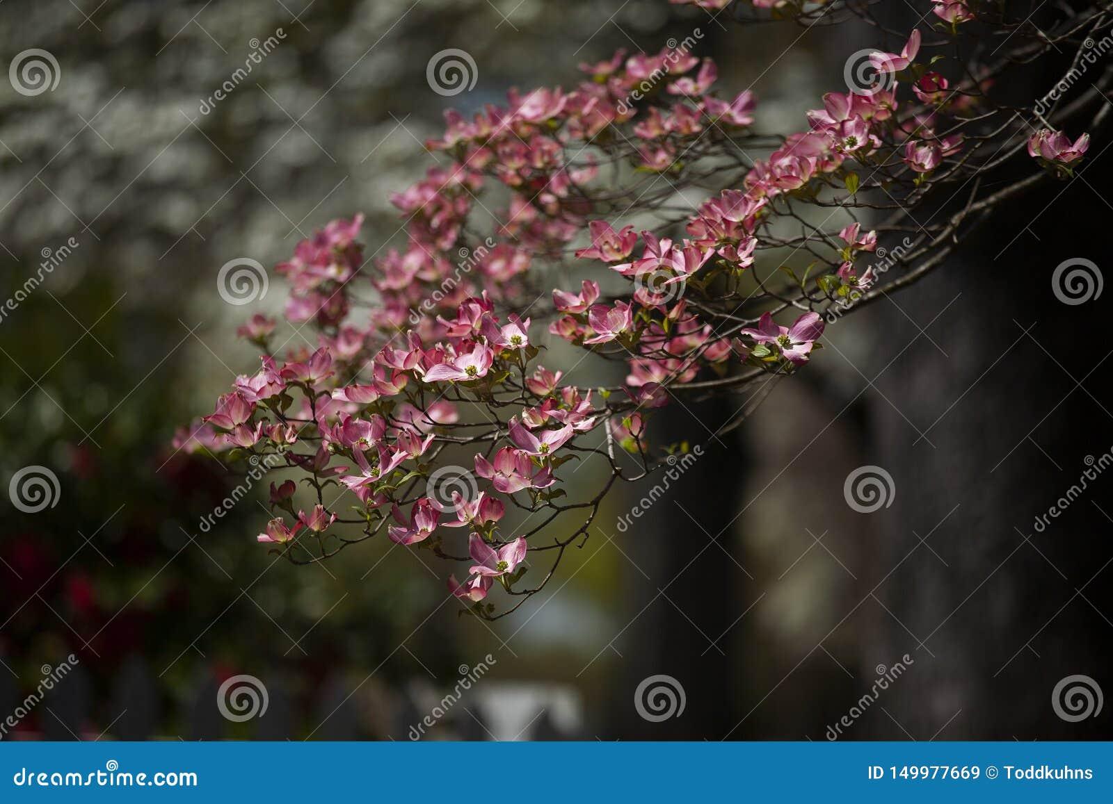 Flores cor-de-rosa do corniso durante a mola na luz solar direta