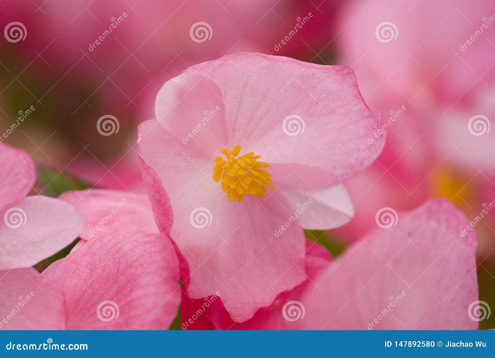 Flores cor-de-rosa do crabapple, etiquetas da flor