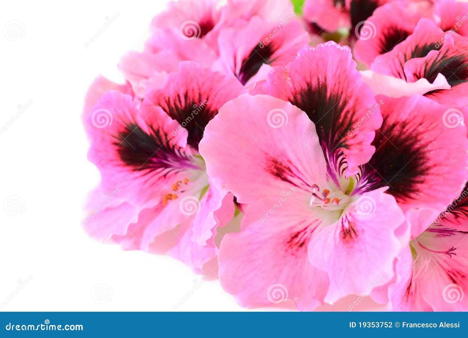 Flores cor-de-rosa do gerânio