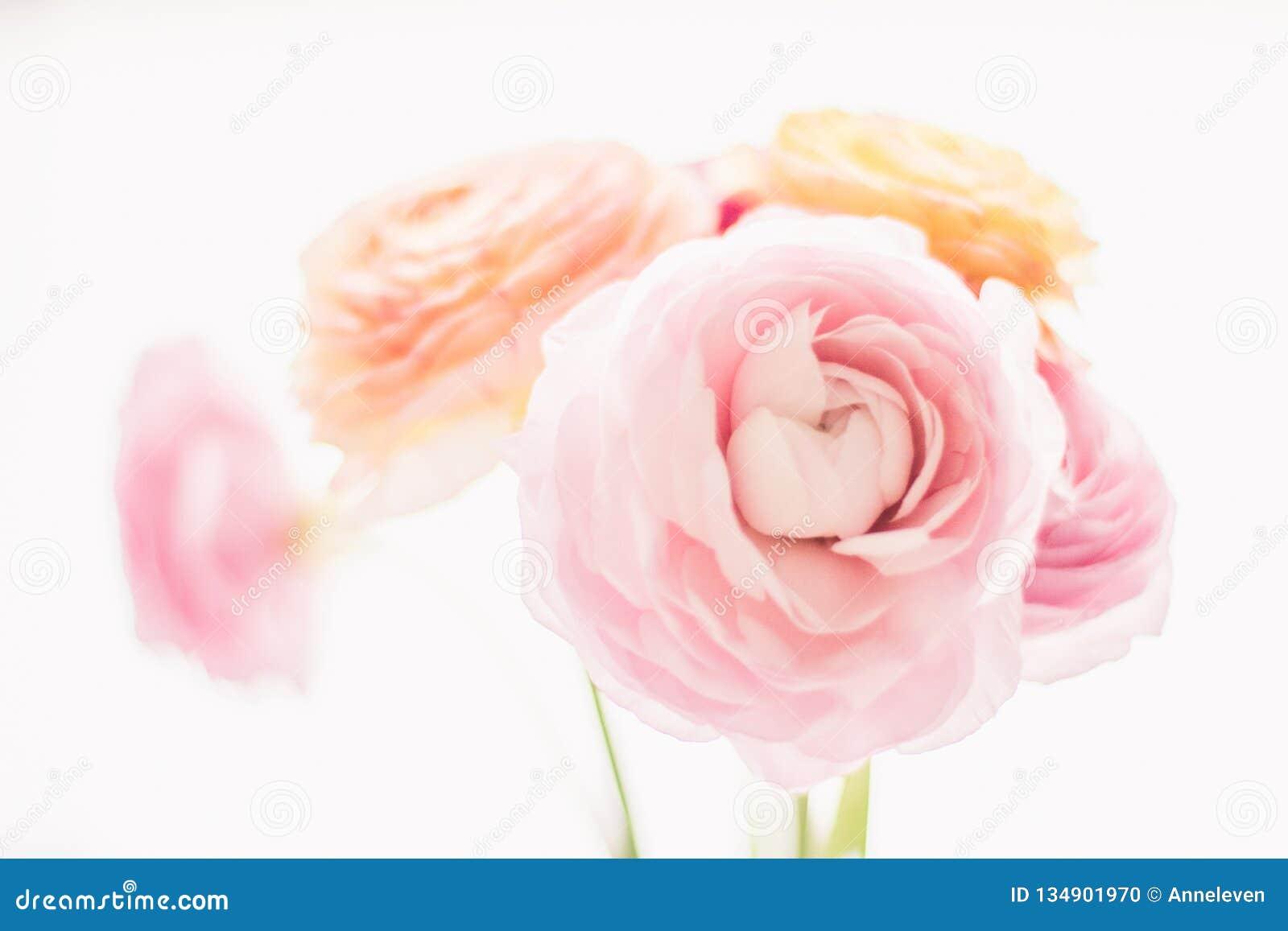 Flores cor-de-rosa cor-de-rosa do jardim - casamento, feriado e jardim floral conceito denominado
