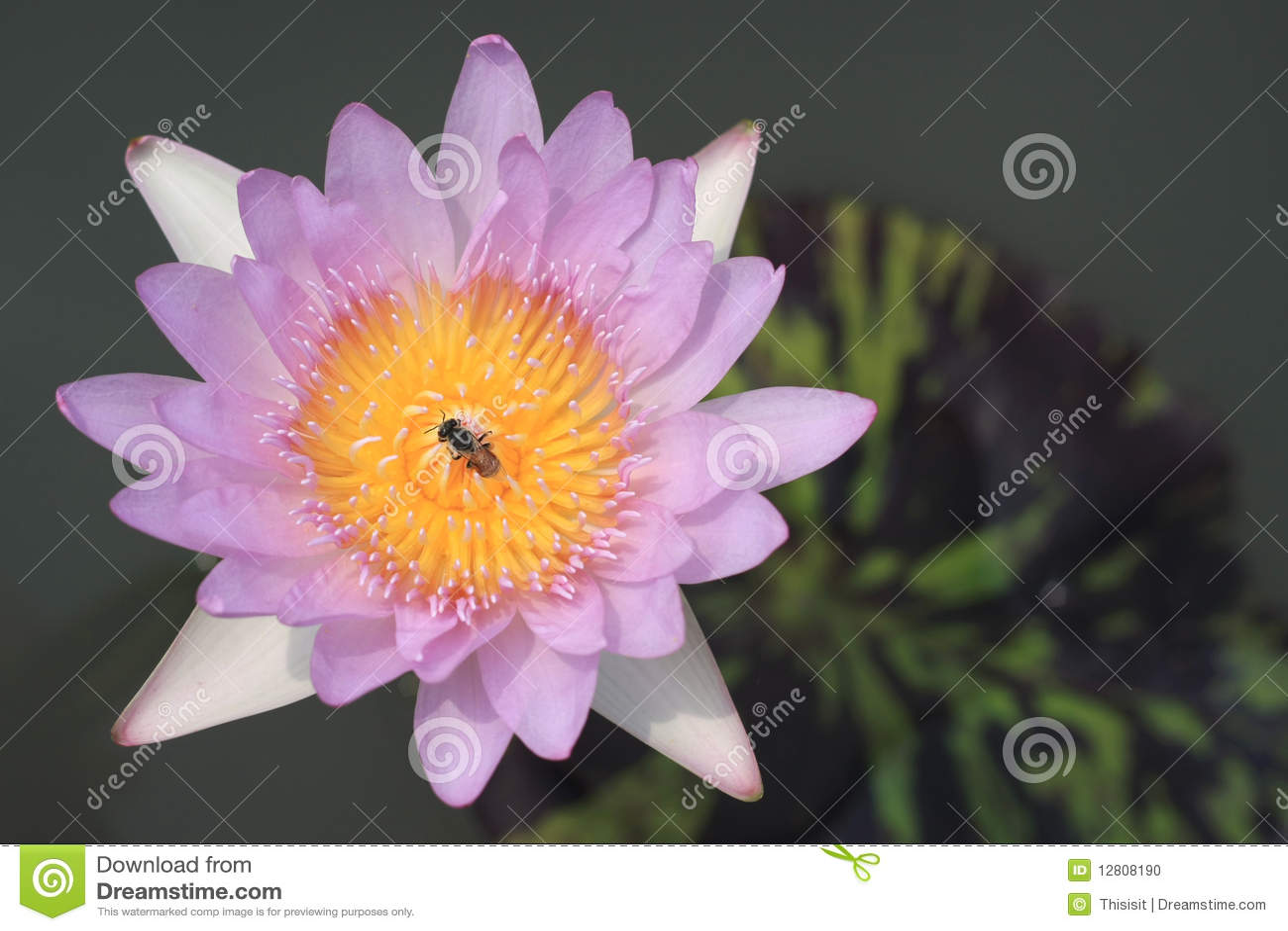 Flores cor-de-rosa dos lótus