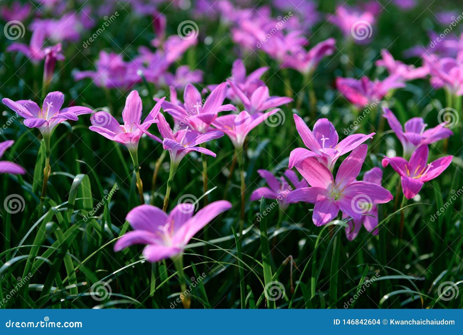 Flores cor-de-rosa grandiflora de Zephyranthes no jardim