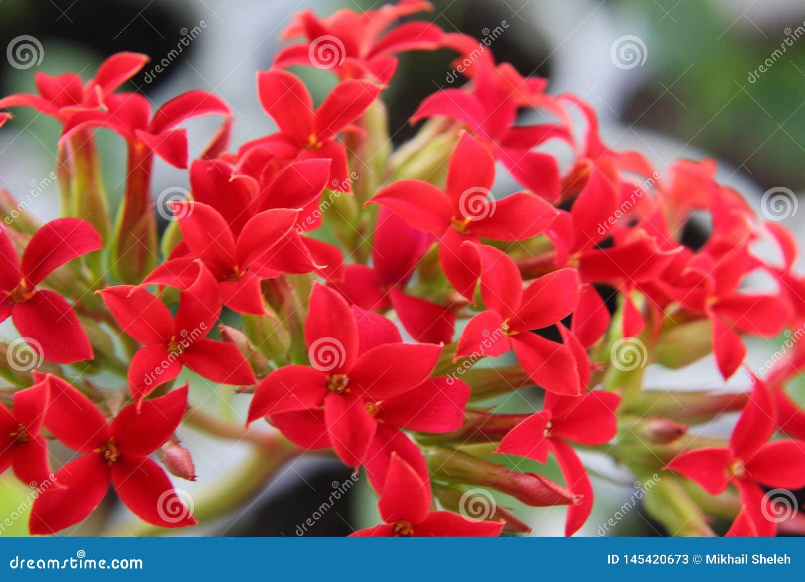 Flores cruciformes rojas brillantes en la inflorescencia de Kalanchoe