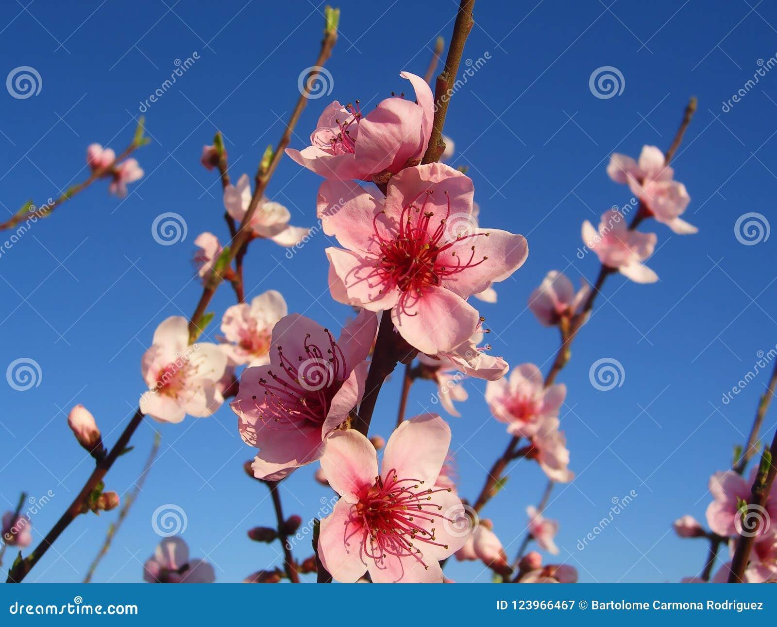 Flores da árvore de amêndoa com fundo do céu azul