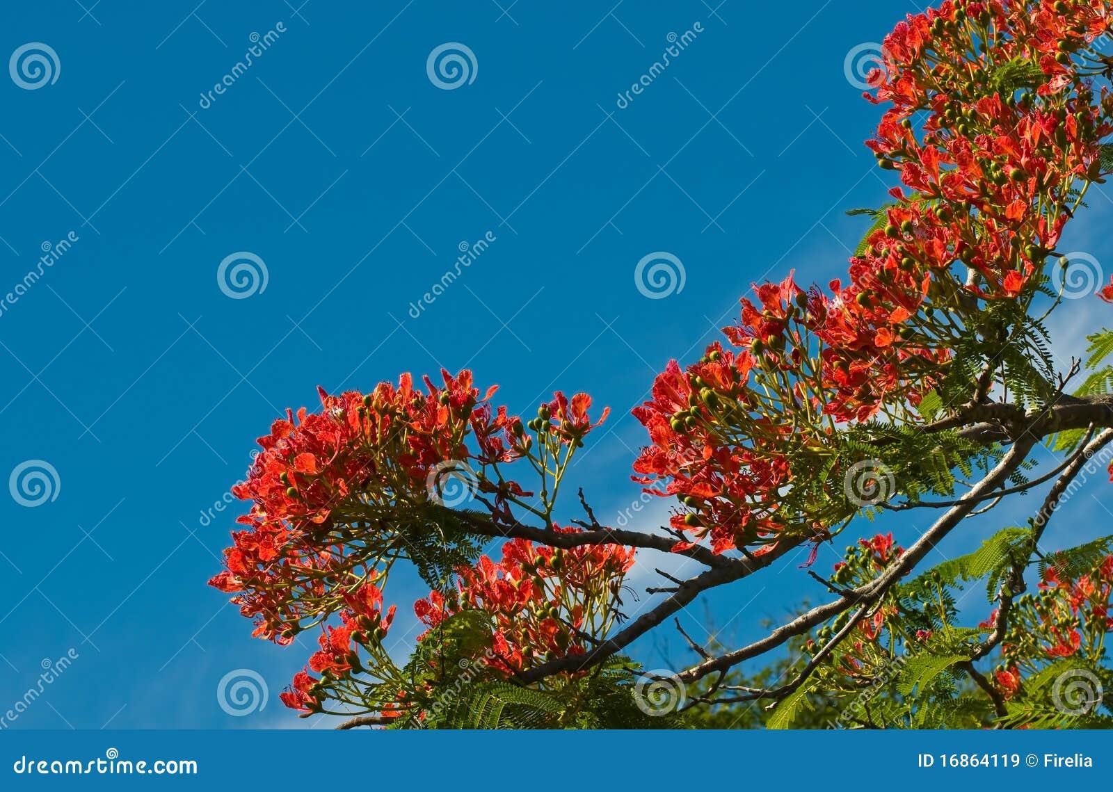 Flores da árvore de flama