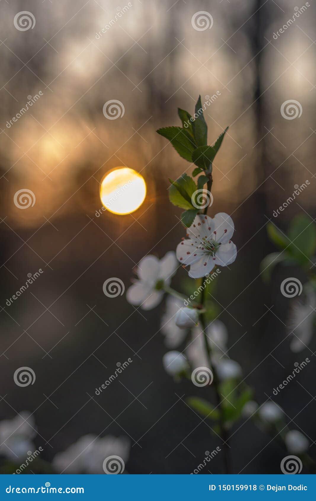 Flores da árvore da mola no por do sol
