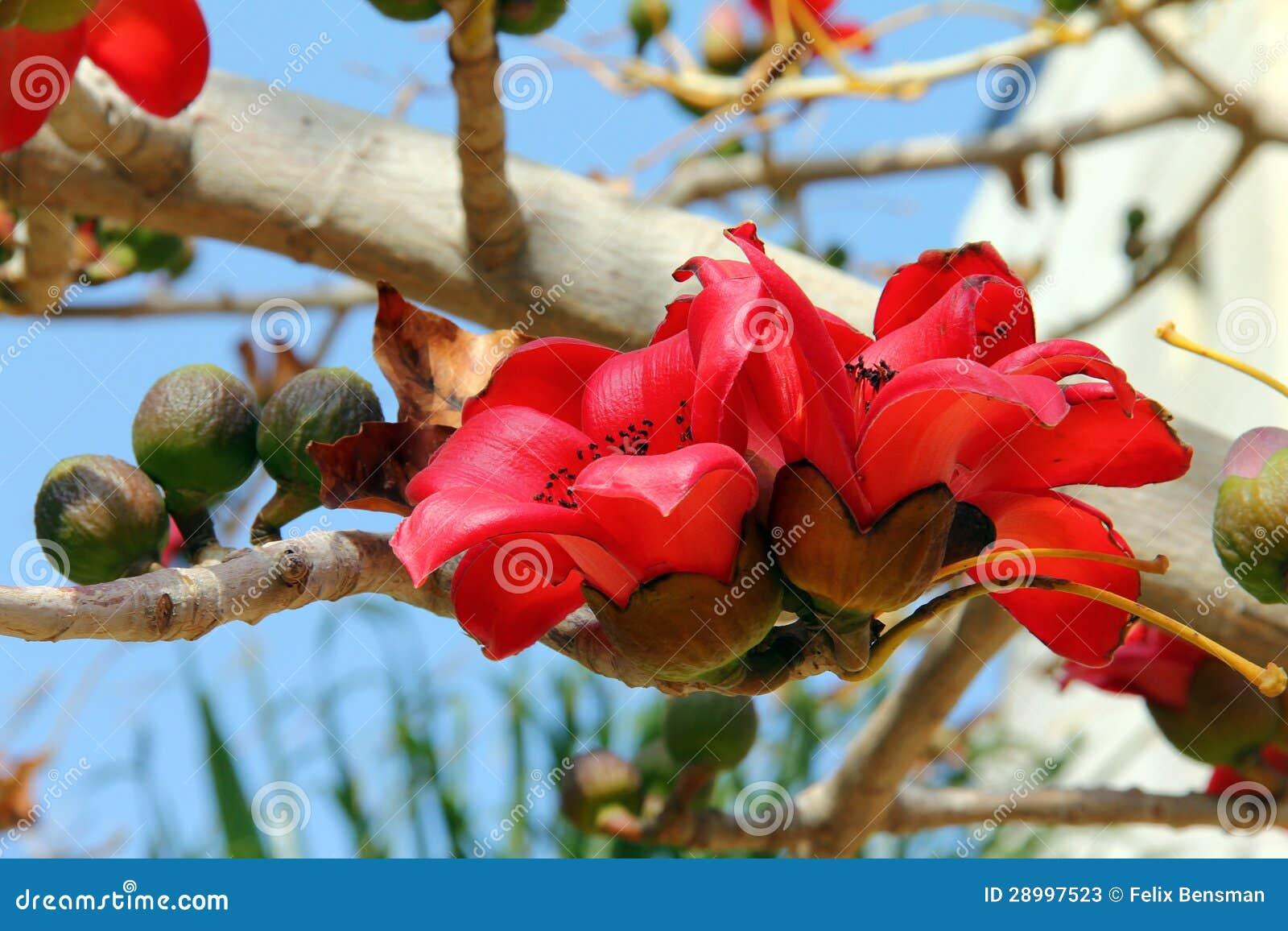 Flores da árvore vermelha do algodão de seda (Bombax)