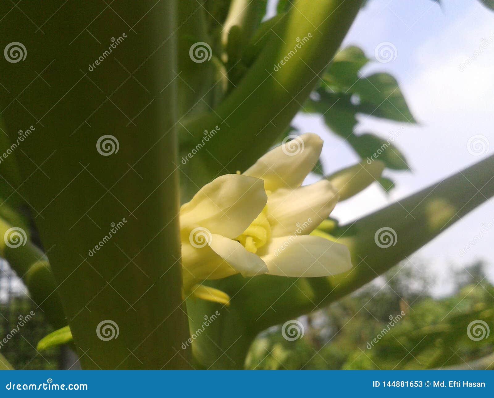 Flores da ab?bora