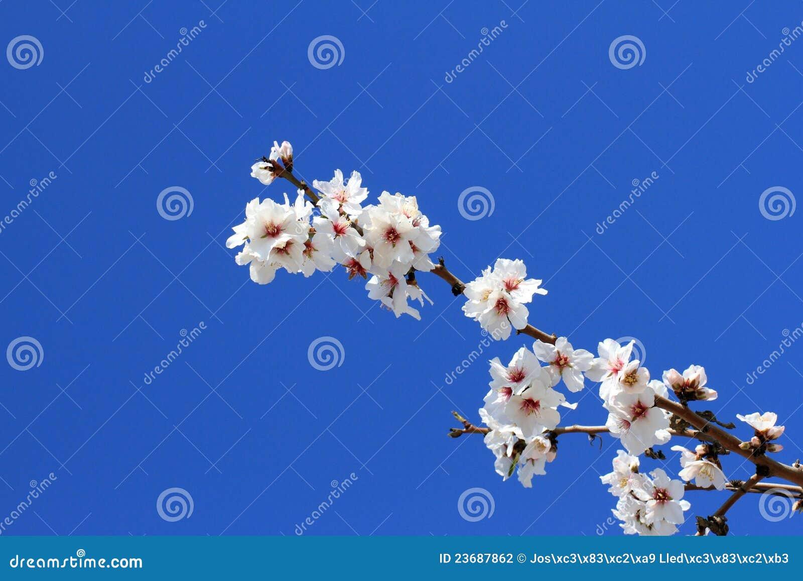 Flores da amêndoa