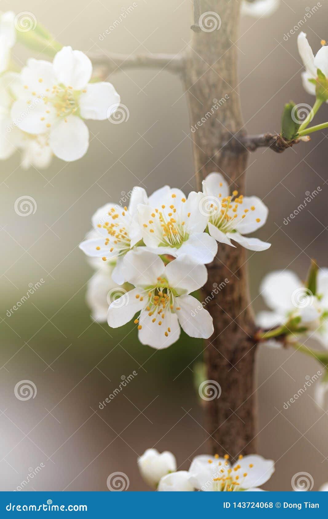 Flores da ameixa na mola