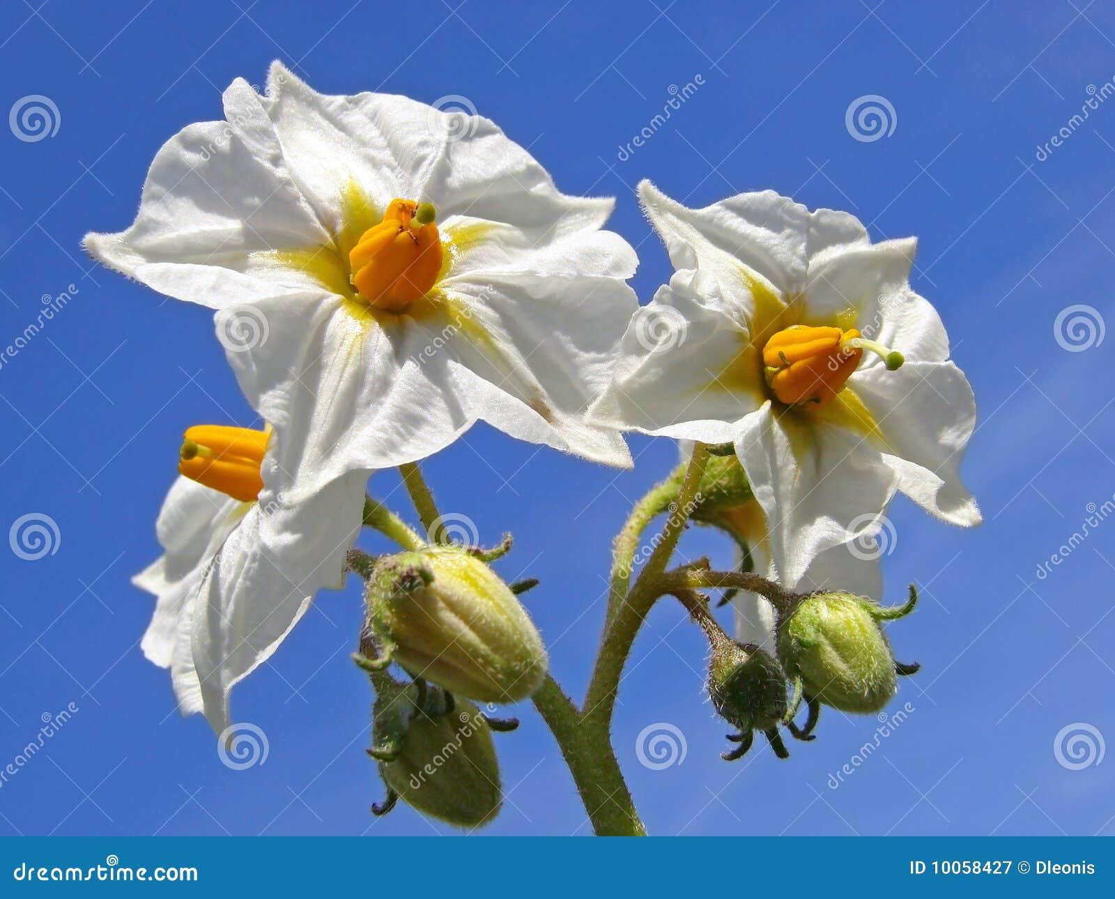 Flores da batata
