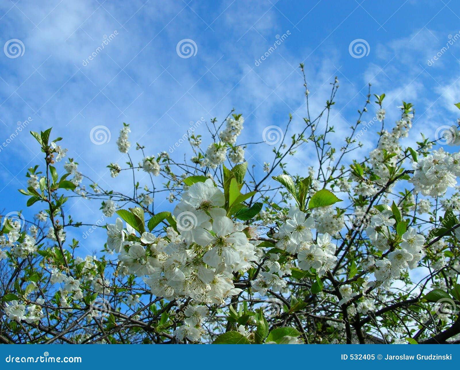 Flores da cereja