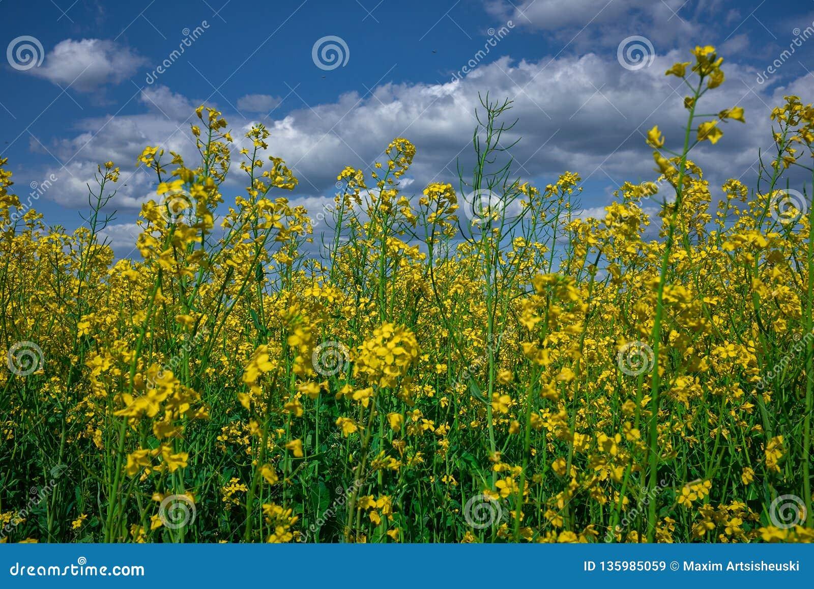 Flores da colza em um campo sob o céu azul nebuloso
