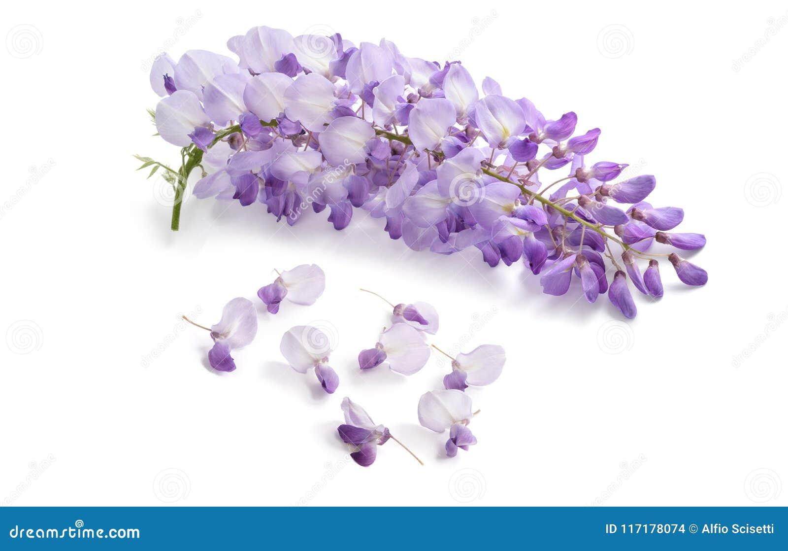 Flores da glicínia isoladas