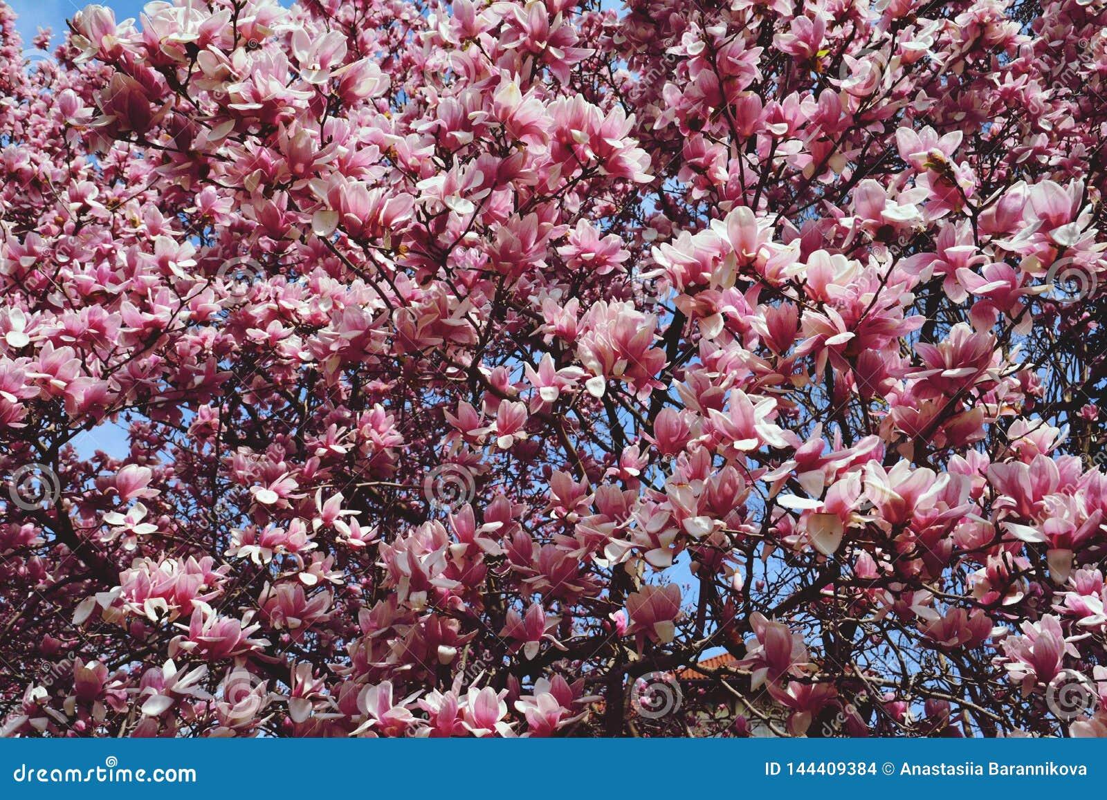 Flores da magnólia