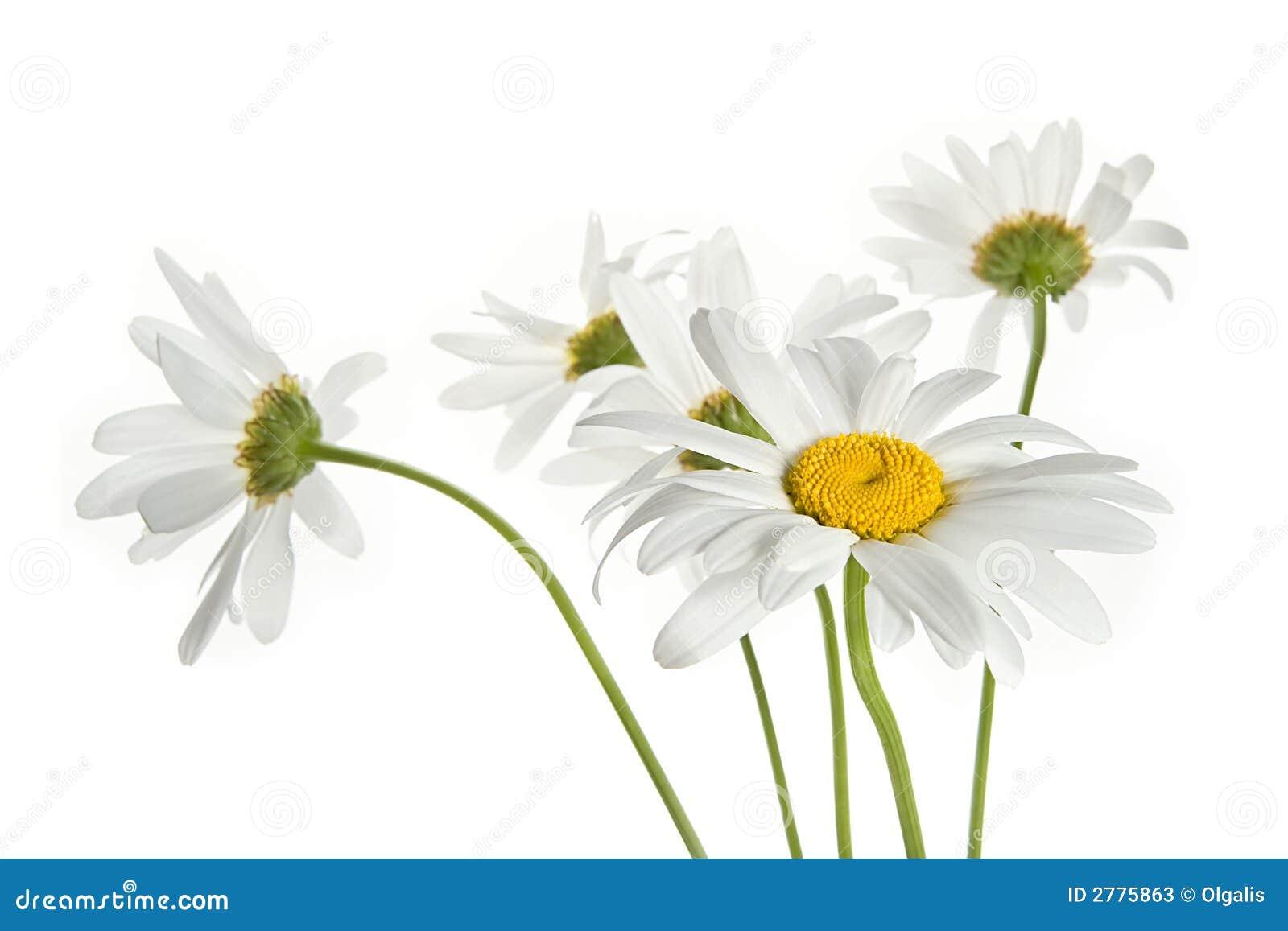Flores da margarida