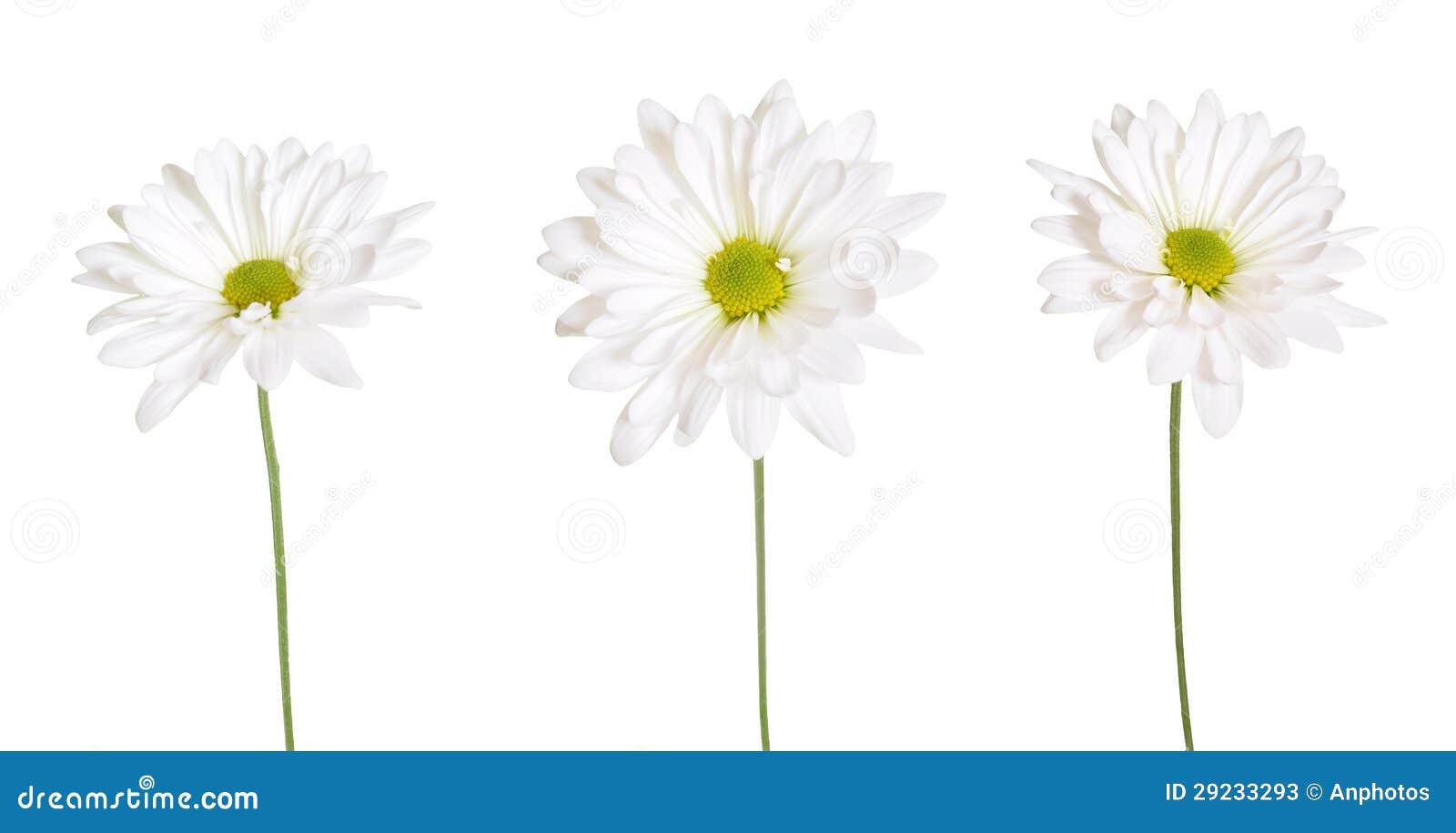 Download Flores da margarida branca imagem de stock. Imagem de flor - 29233293