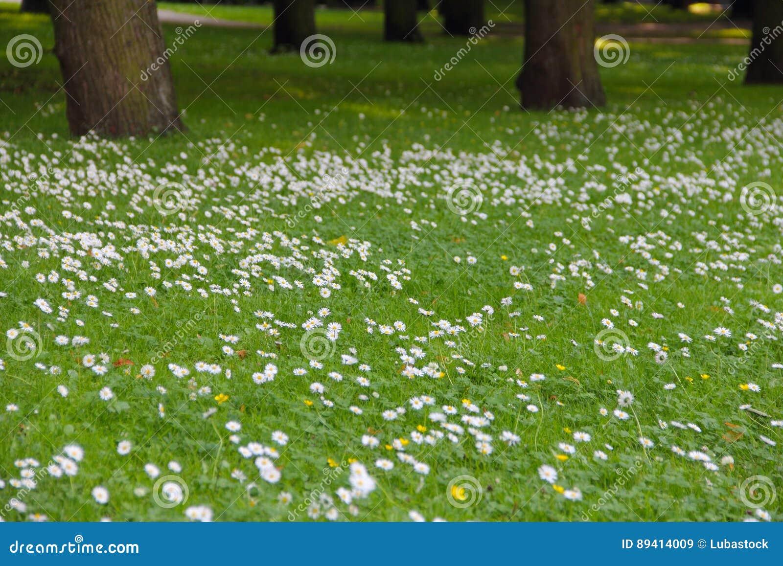 Flores da margarida da mola