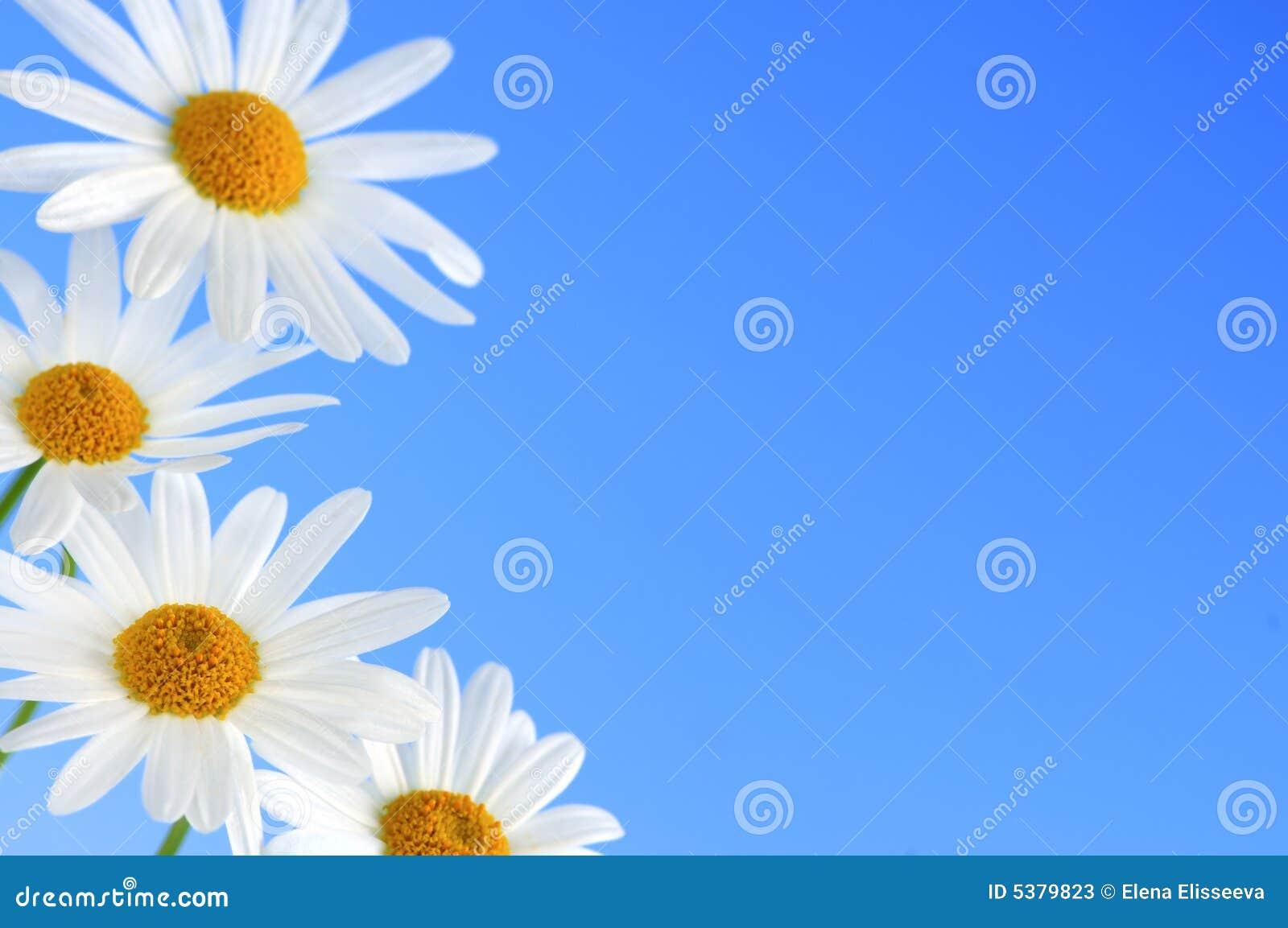 Flores da margarida no fundo azul