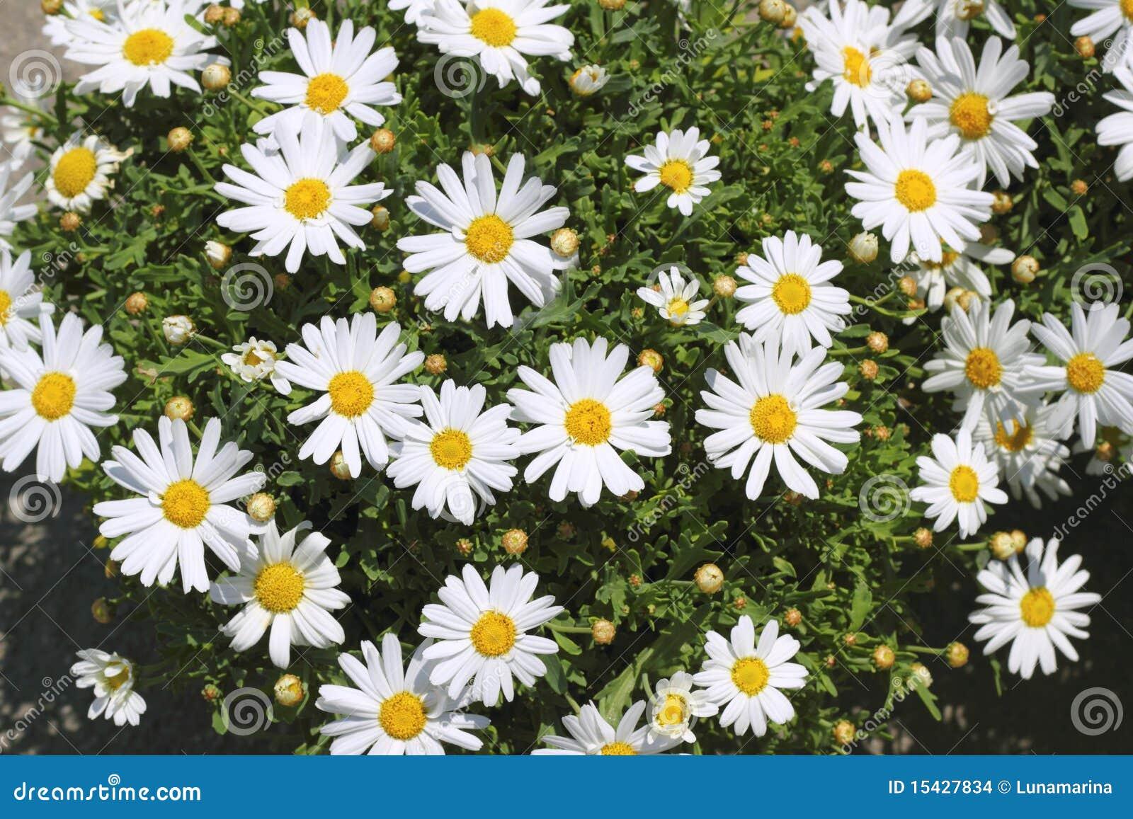 flor de jardim amarela:Flores Da Margarida No Jardim Branco Amarelo Imagens de Stock – Imagem