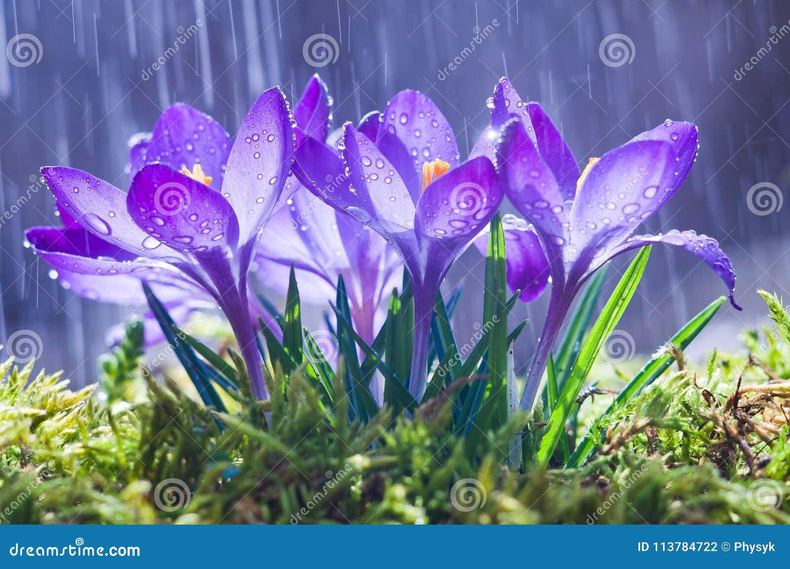 Flores da mola de açafrões azuis nas gotas da água no backgro