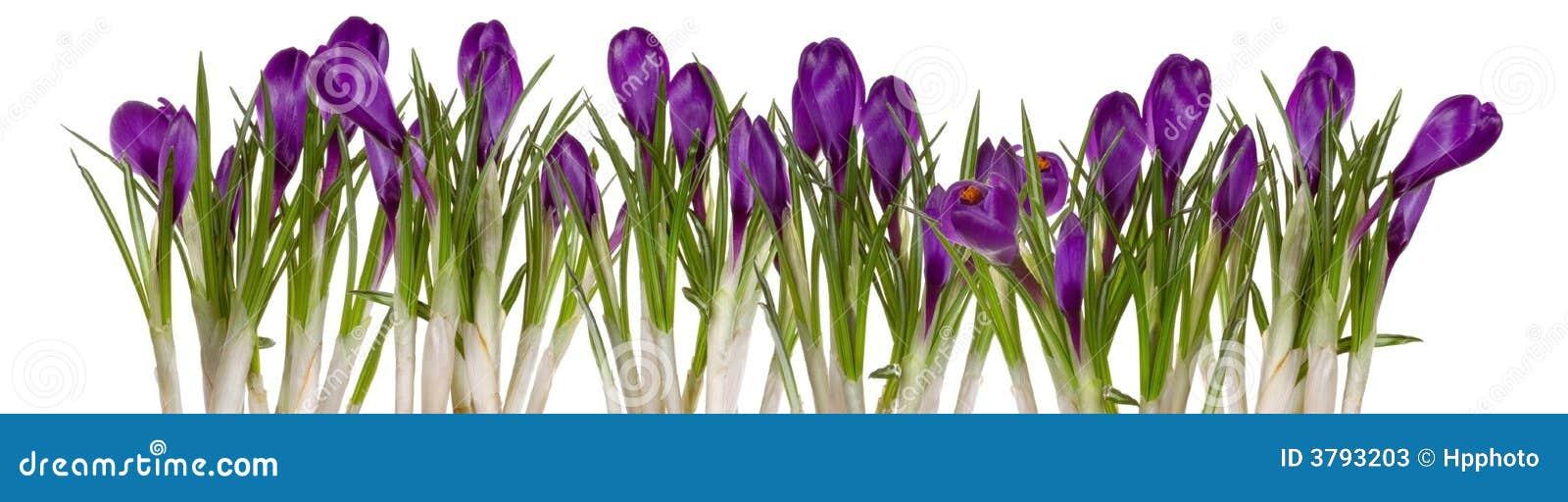 Flores da mola que vêm acima