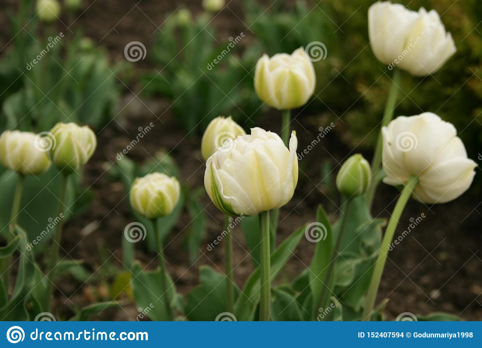 Flores da mola - tulips brancos