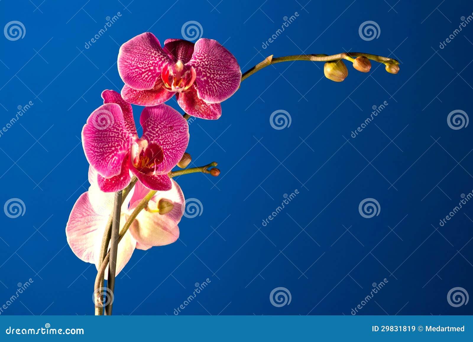 Orquídea na noite