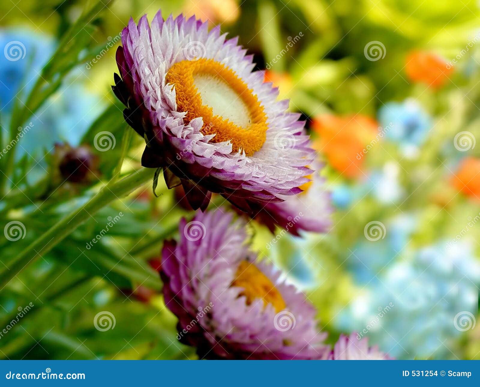 Flores da palha na flor cheia