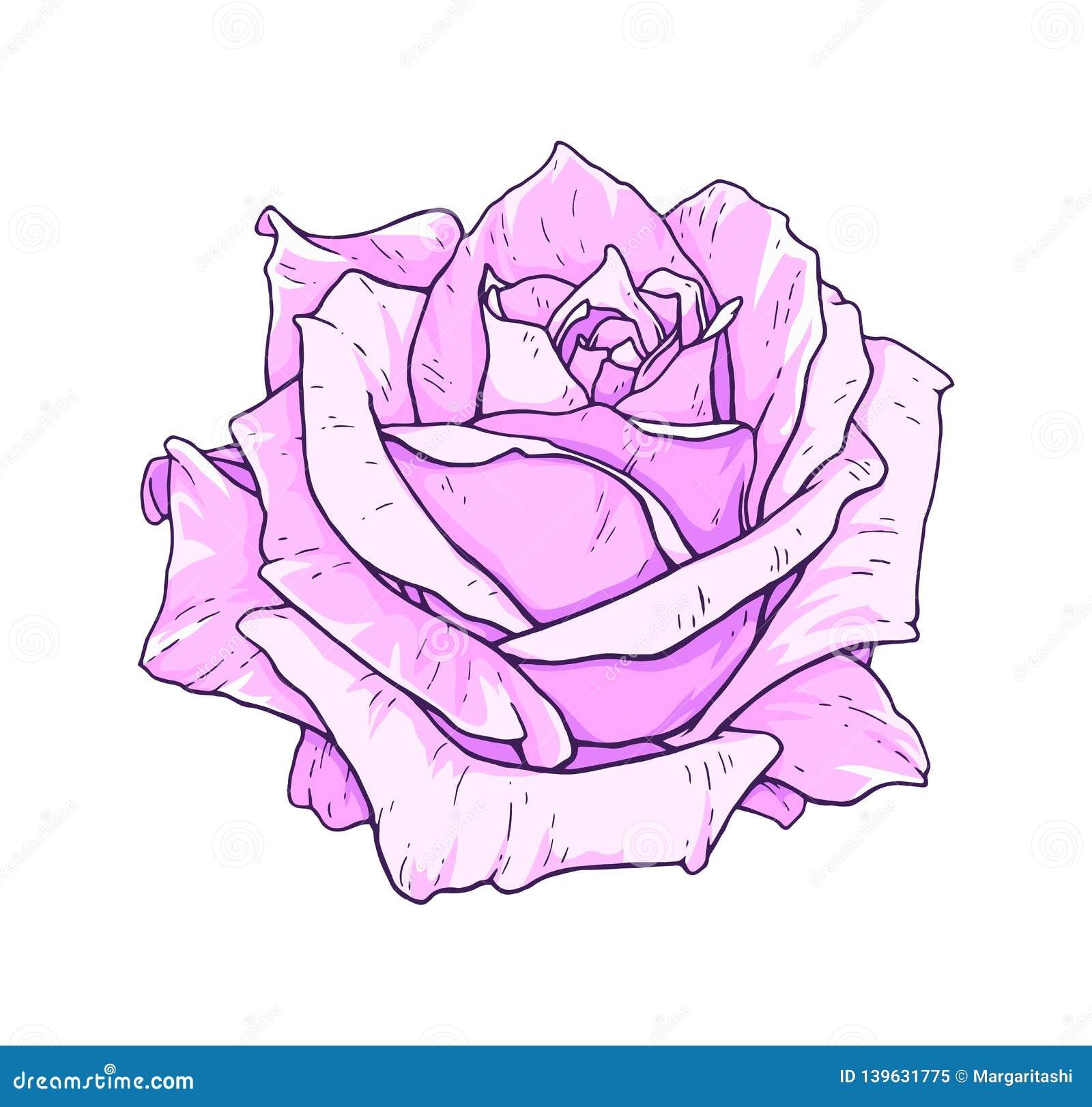 Flores Da Rosa Do Rosa Isoladas No Fundo Branco Ilustracao Do