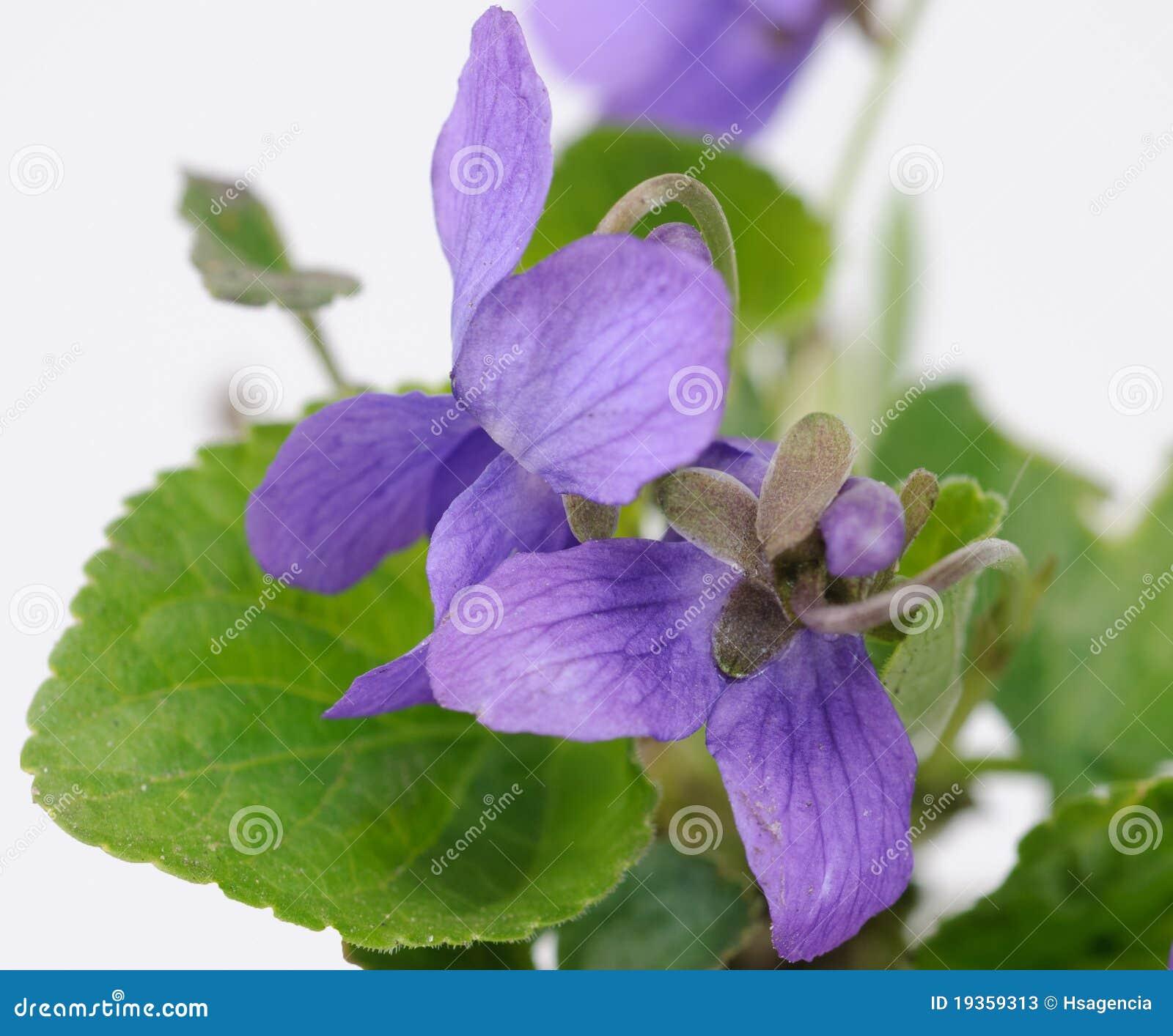 Flores da viola da erva no close up