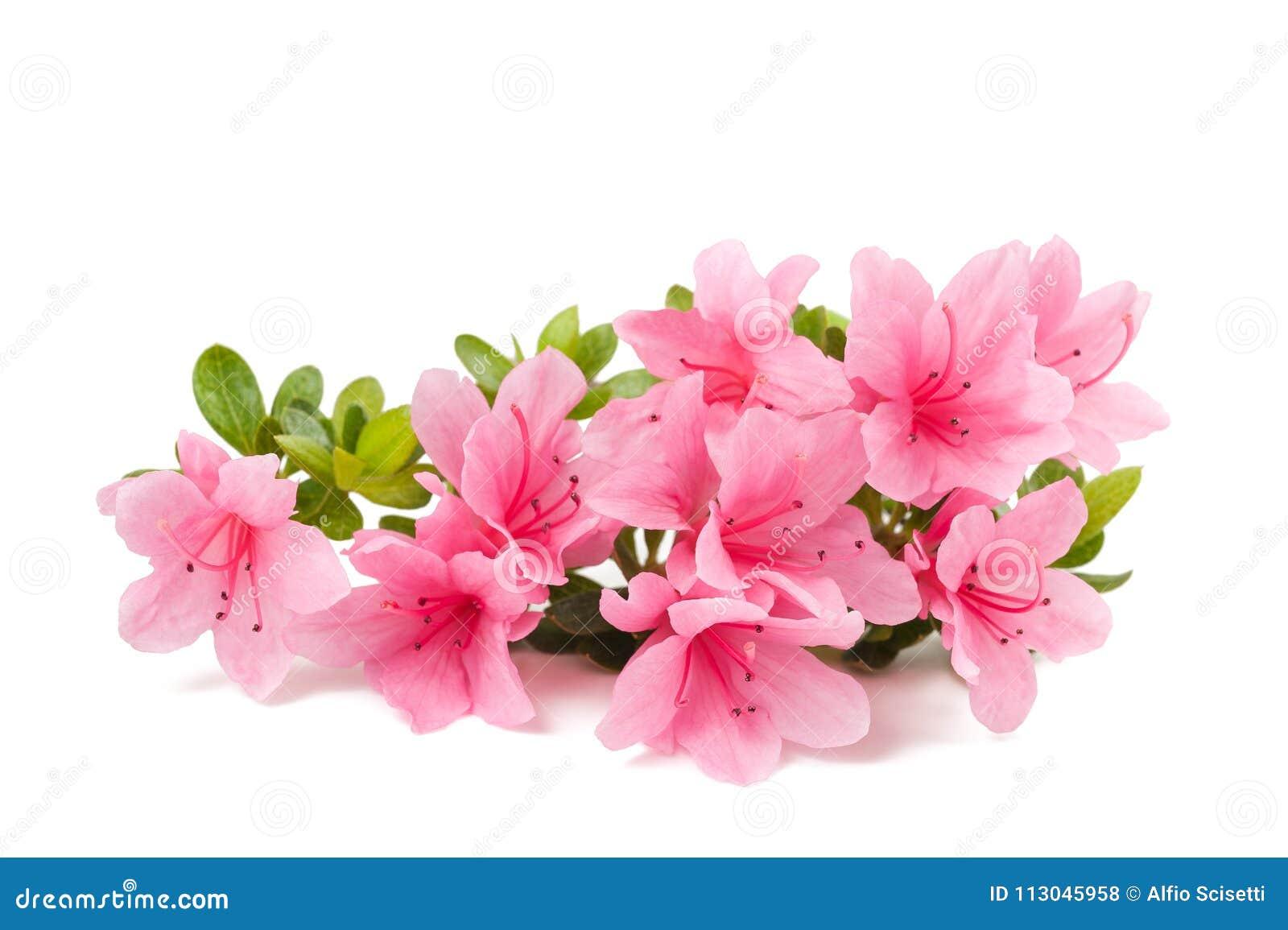Flores das azáleas isoladas