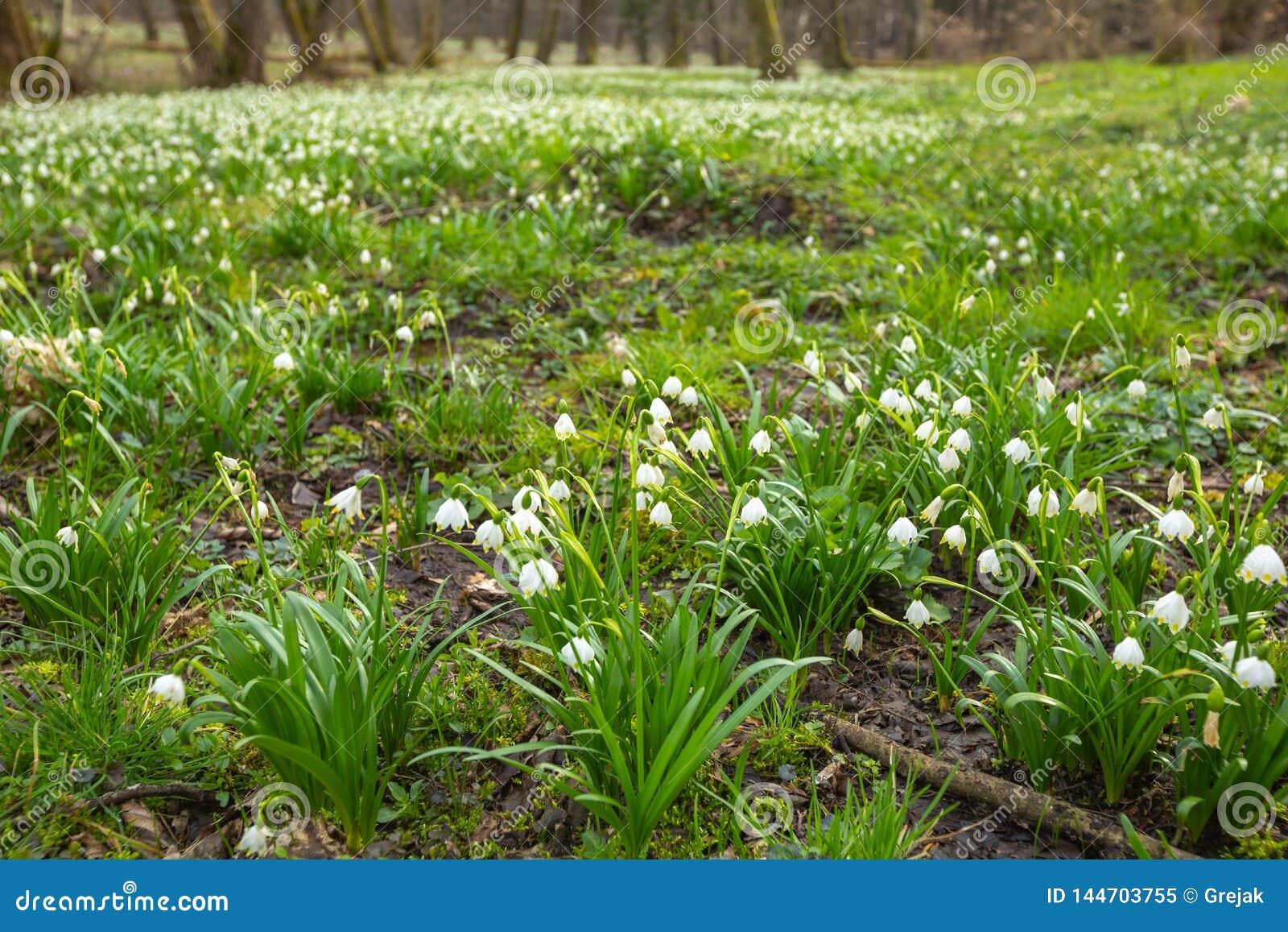 Flores das flores do floco de neve na floresta