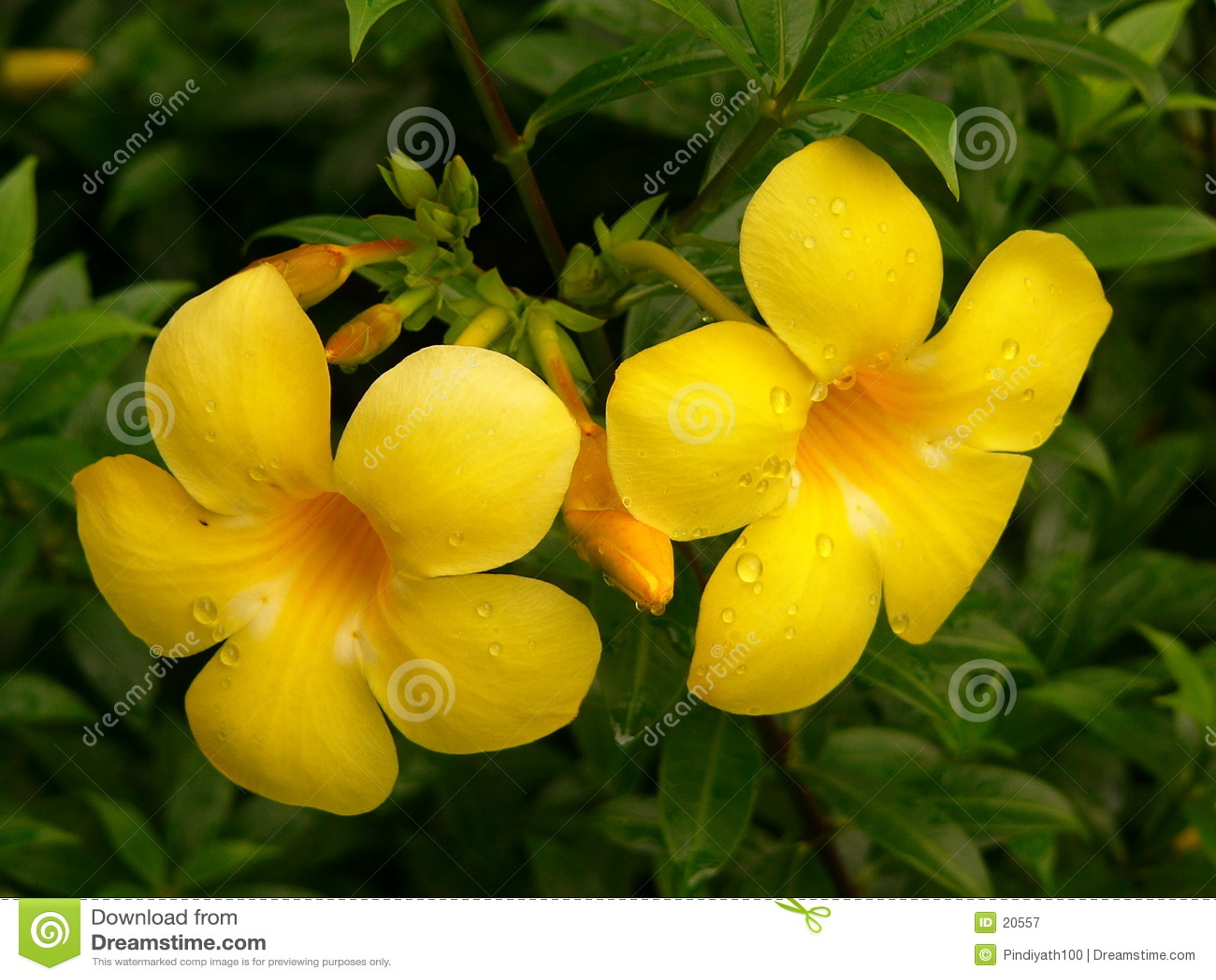 Flores de Alamanda