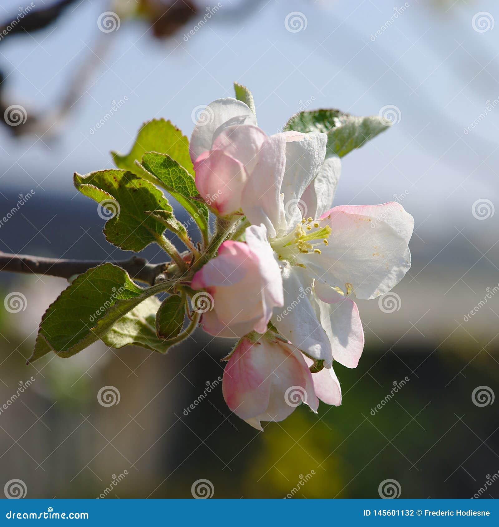 Flores de Apple en resorte