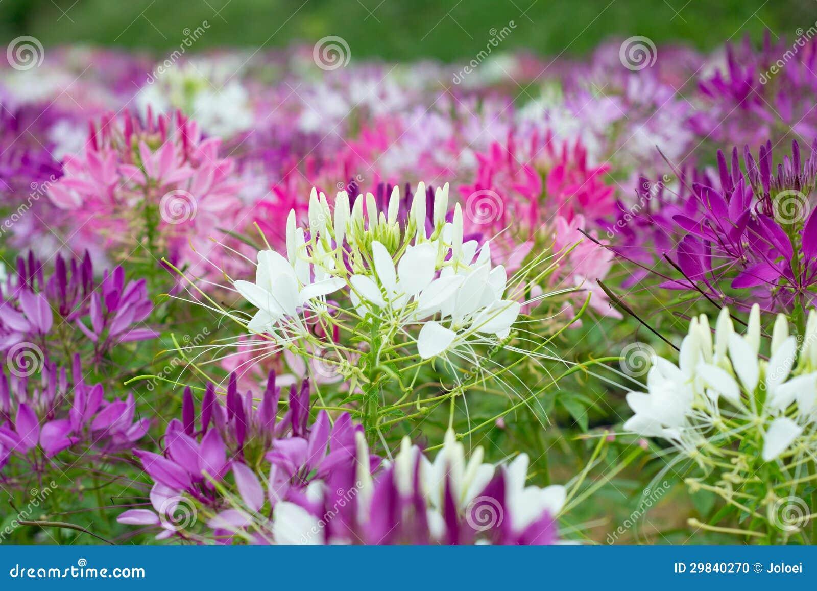Flores de aranha