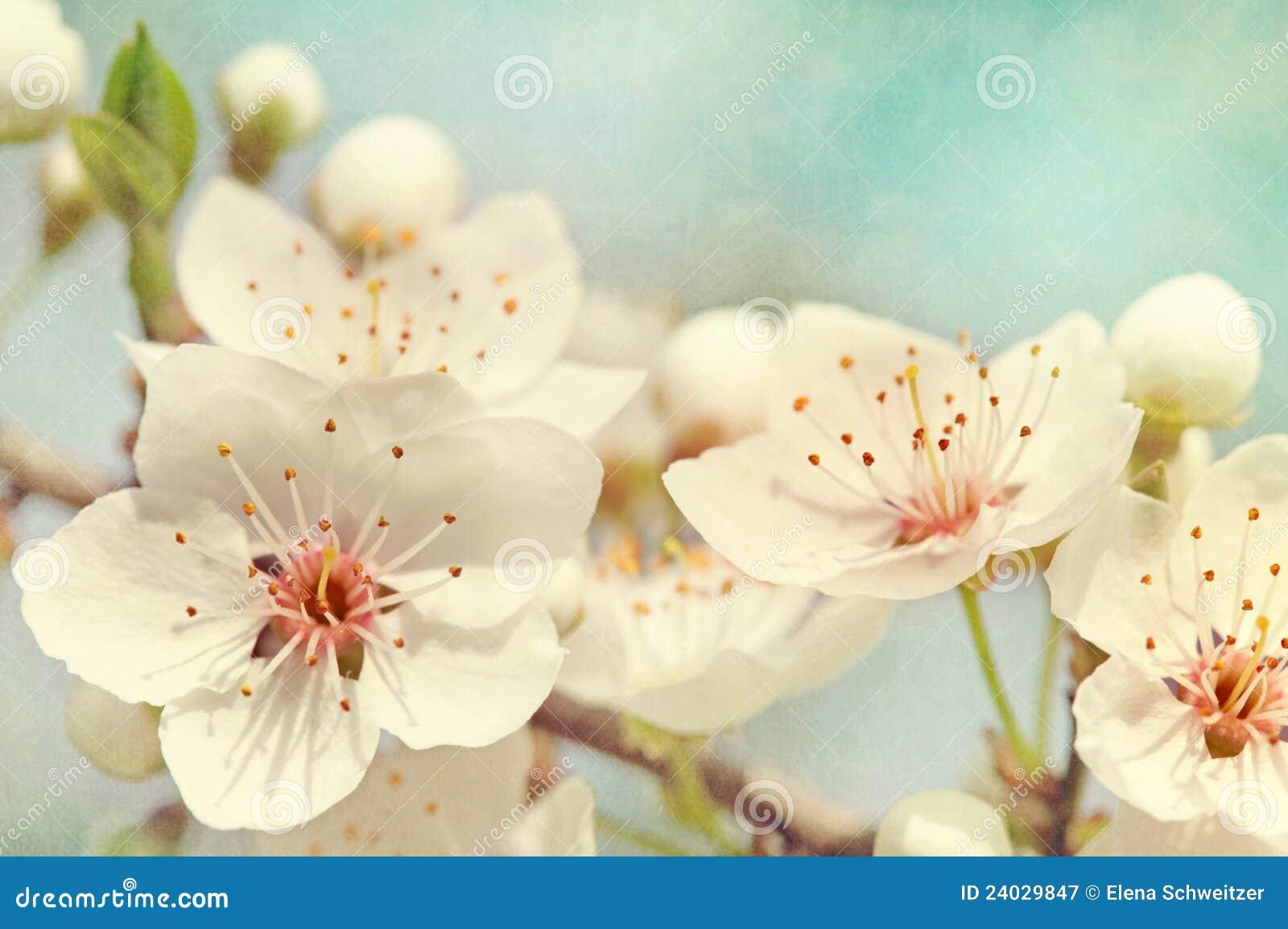 Flores de cereja
