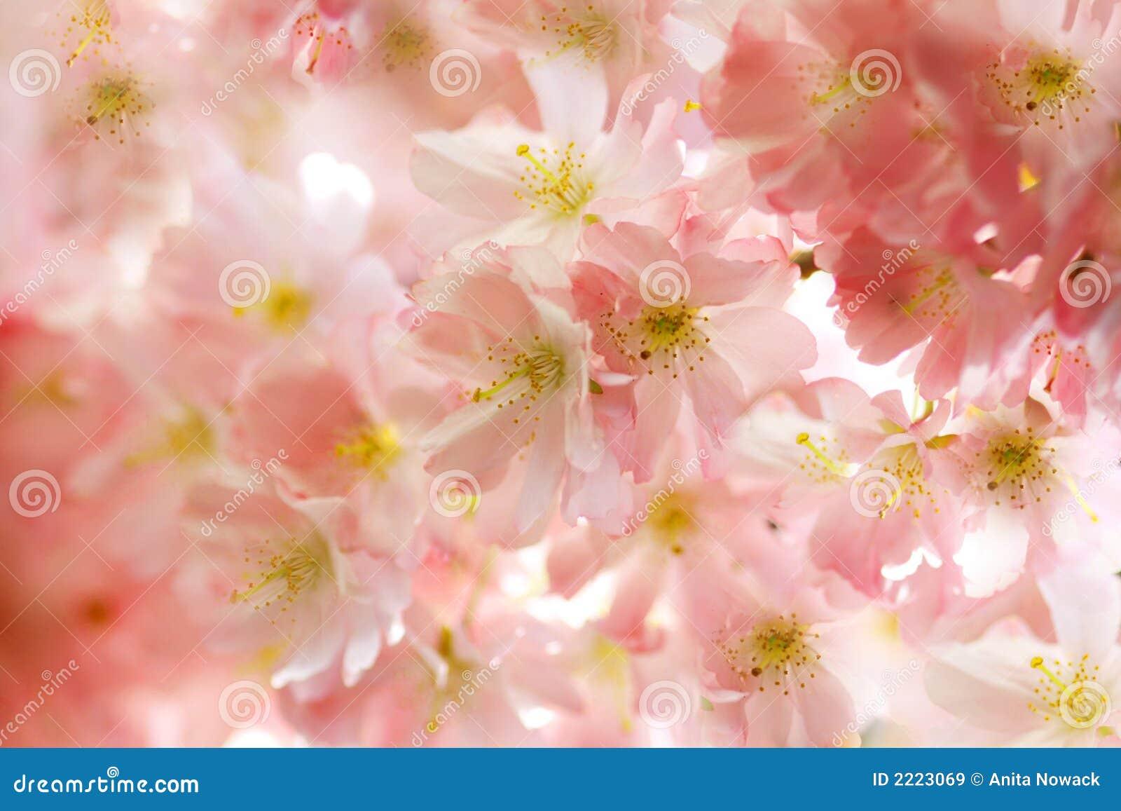 Flores de cereja cor-de-rosa