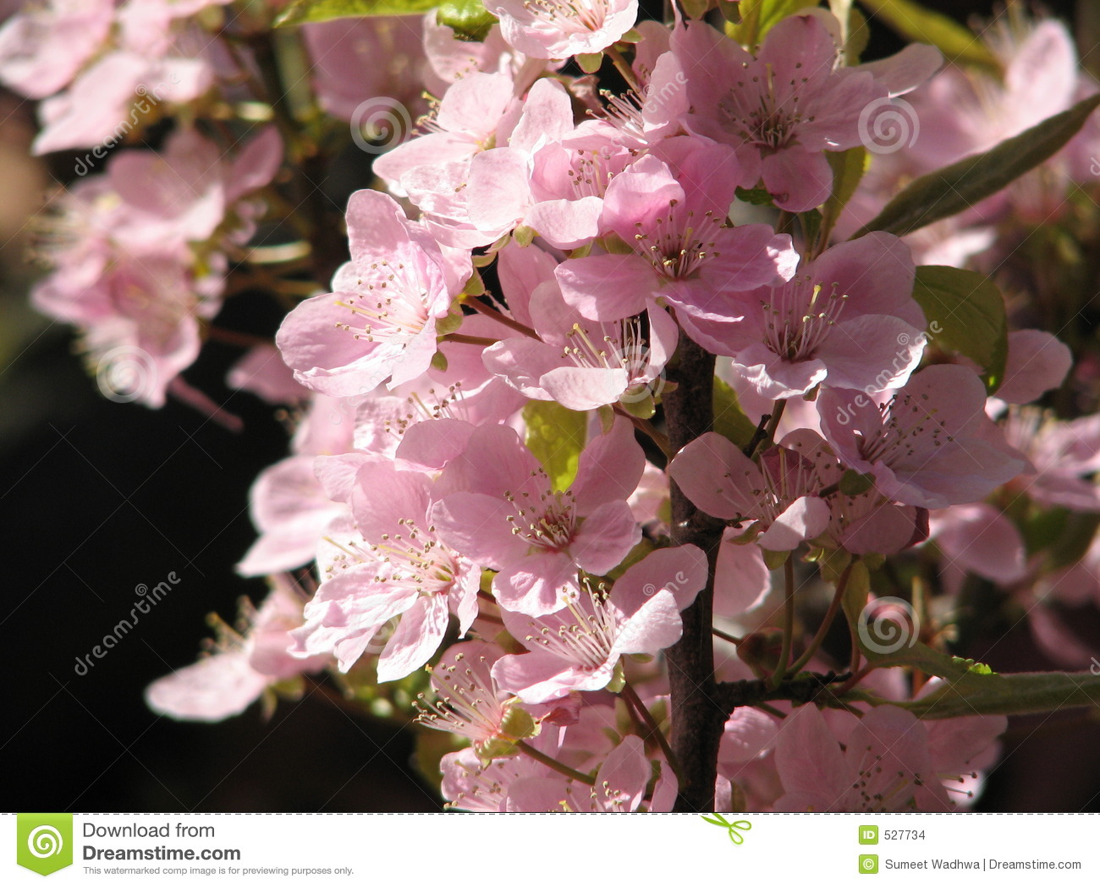 Flores de cereja em Canadá