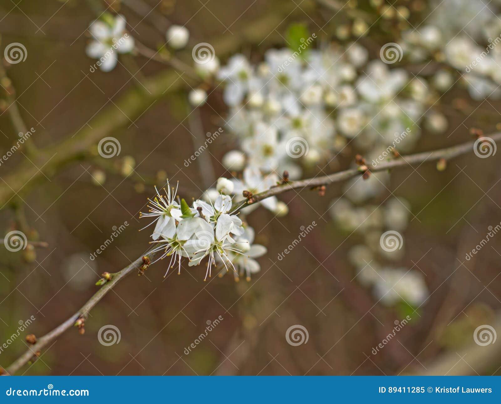 Flores de cerejeira brancas, foco seletivo - Prunus