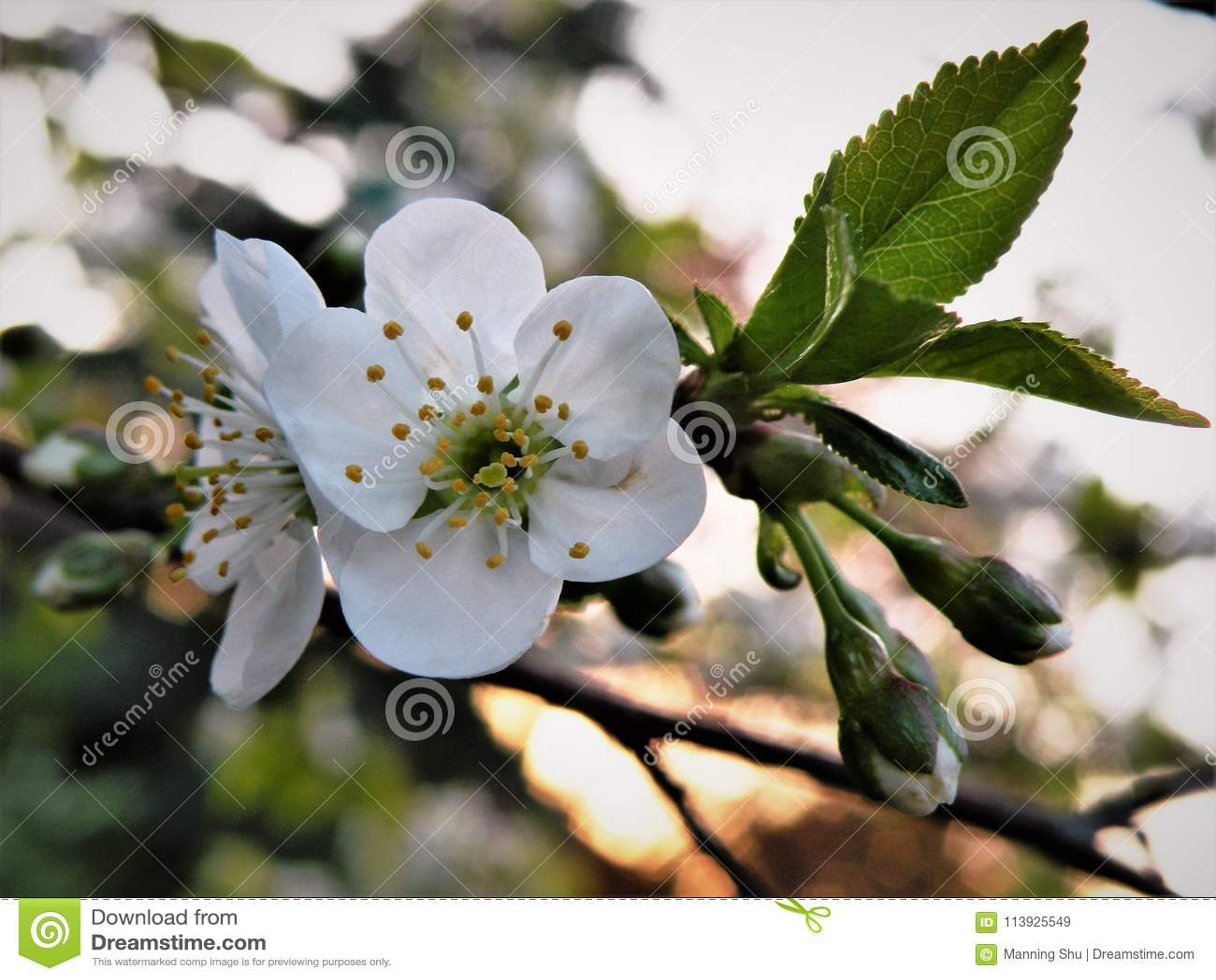 Flores de cerejeira brancas no por do sol