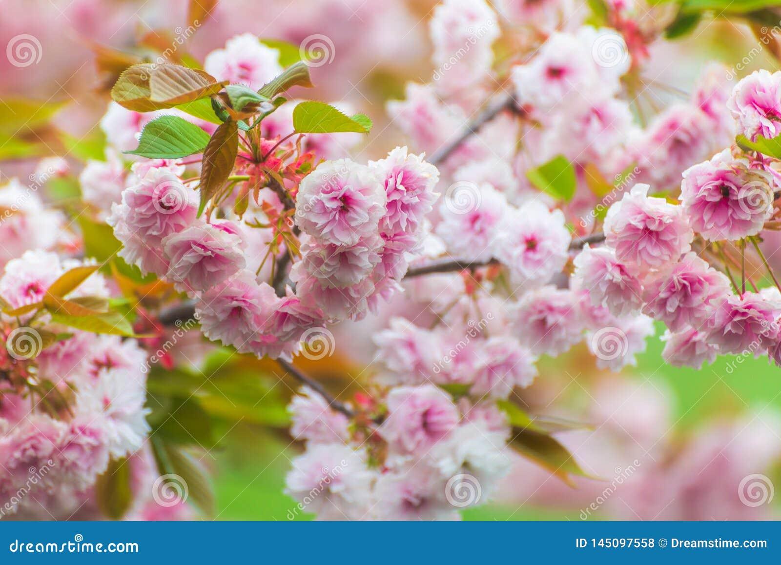 Flores de cerejeira cor-de-rosa calorosamente de florescência