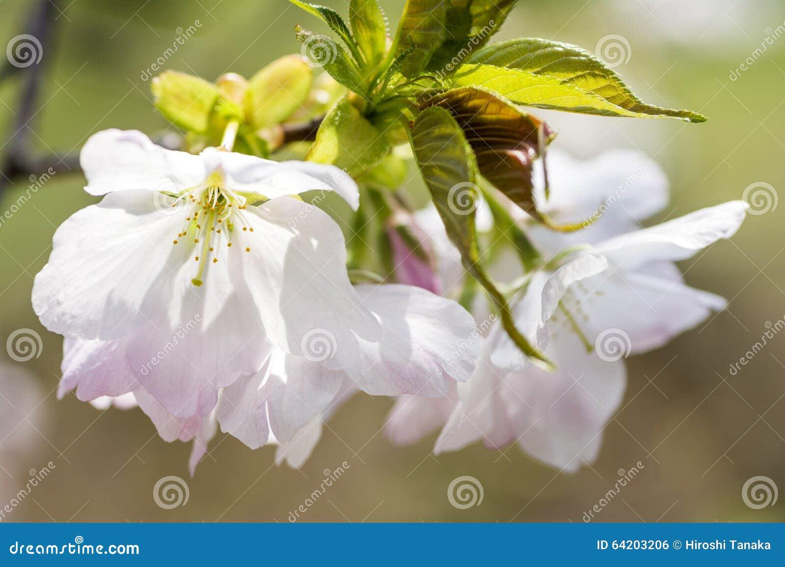 Flores de cereza blancos