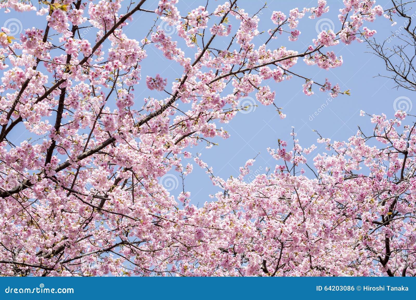 Flores de cerezo debajo del cielo