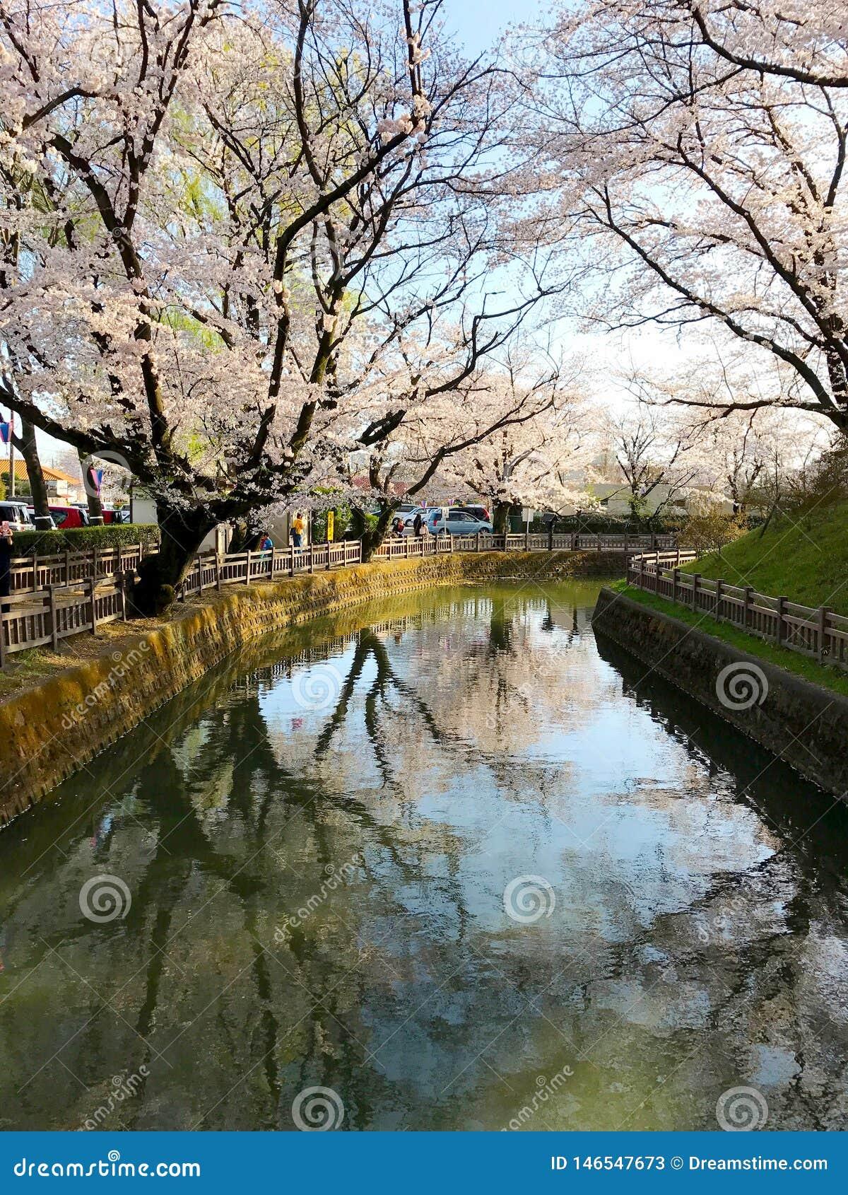 Flores de cerezo en Gunma