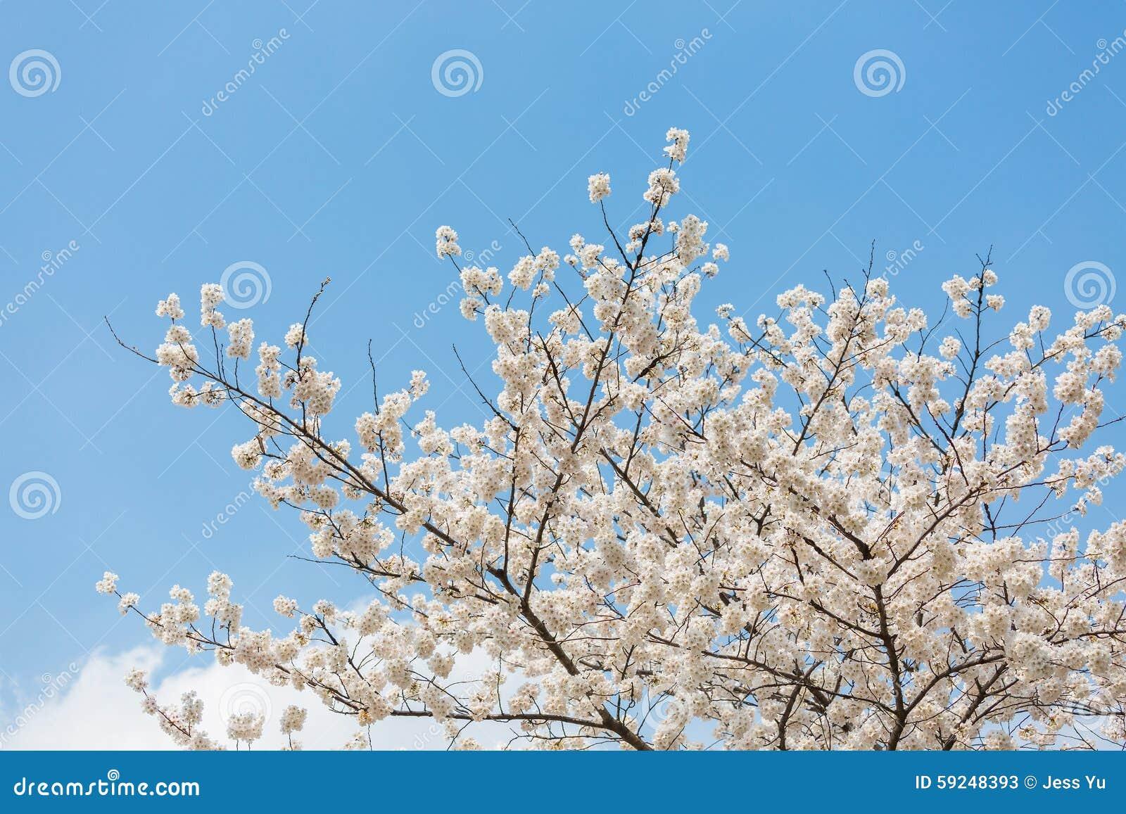 Flores de cerezo en la primavera