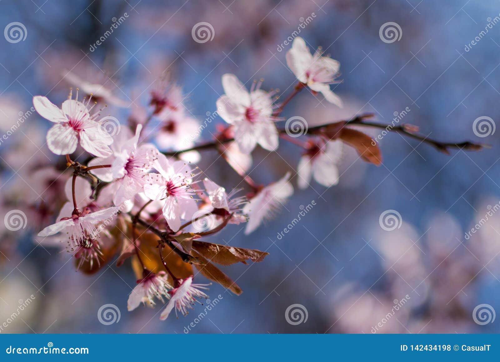 Flores de cerezo japonesas contra un fondo azul claro del bokeh, primer