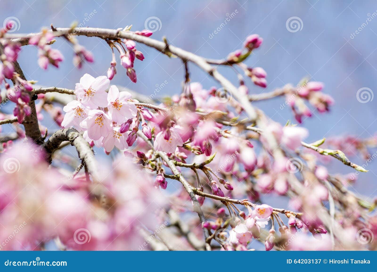 Flores de cerezo y brotes