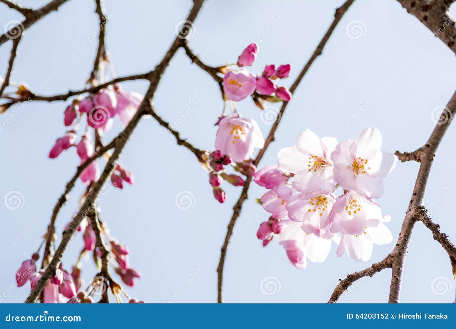 Flores de cerezo y ramas