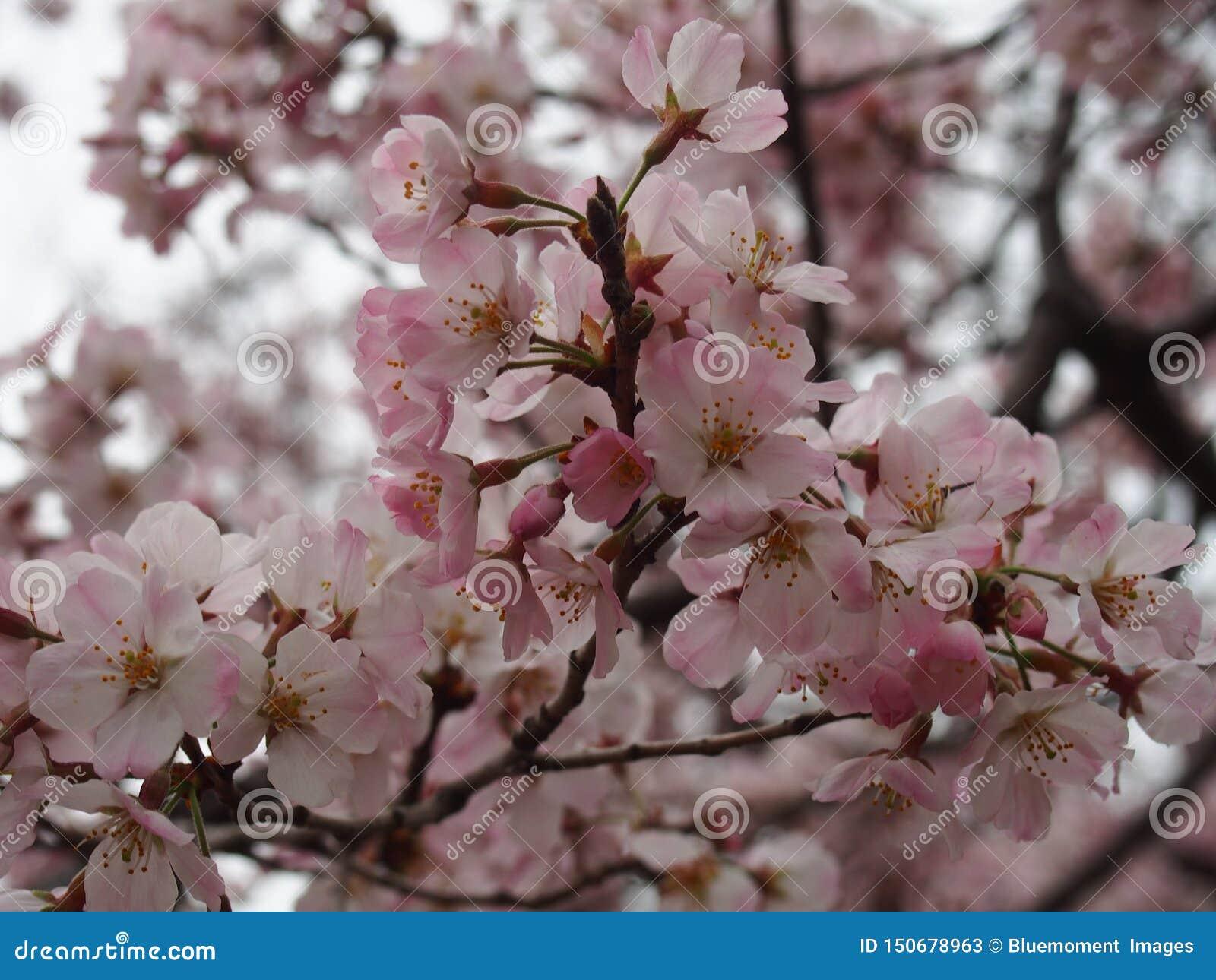 Flores de cerezo de Yoshino en la capilla de Toshogu del parque de Ueno